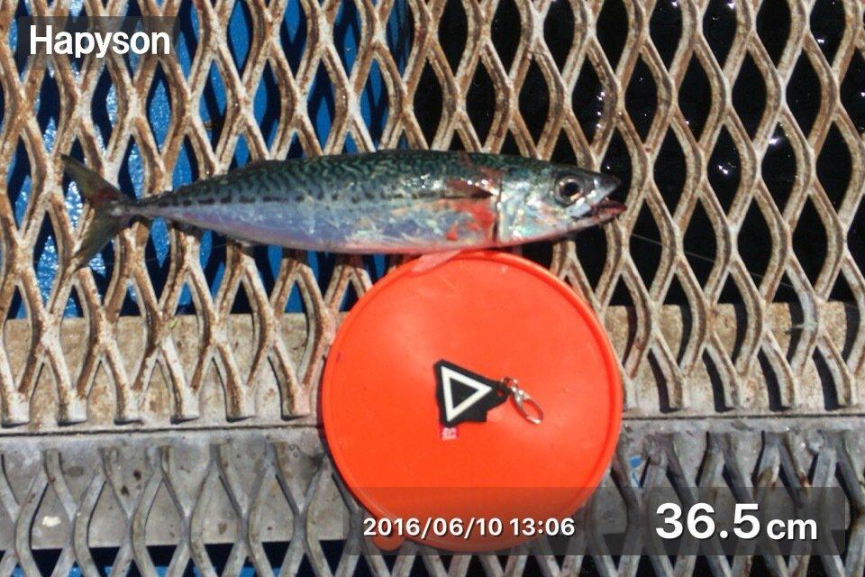 慧サマさんの投稿画像,写っている魚はゴマサバ