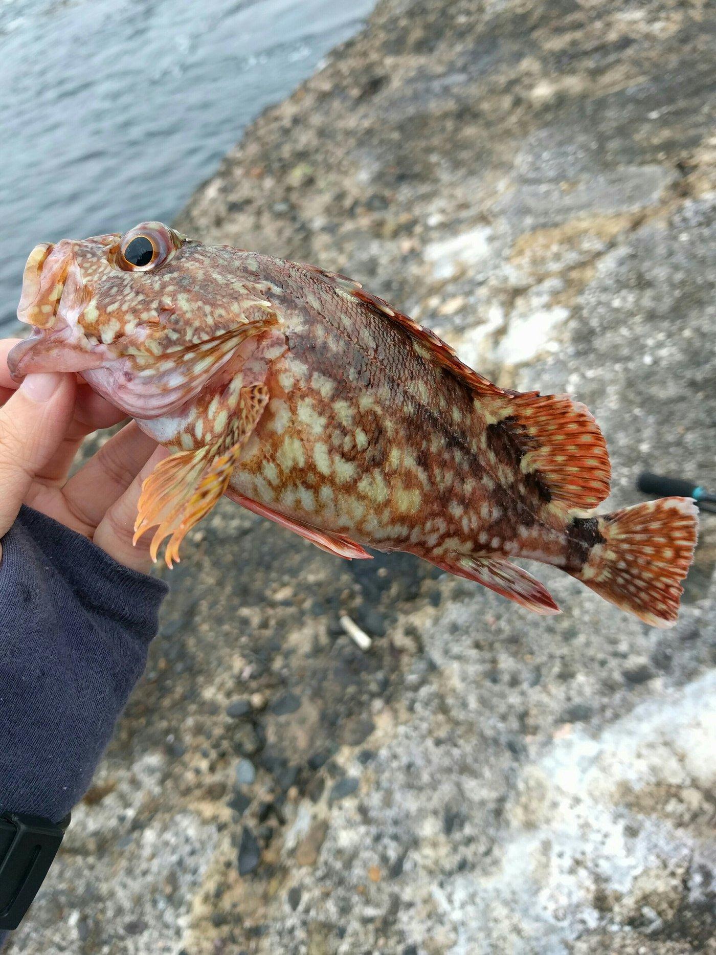 あだちさきさんの投稿画像,写っている魚はカサゴ