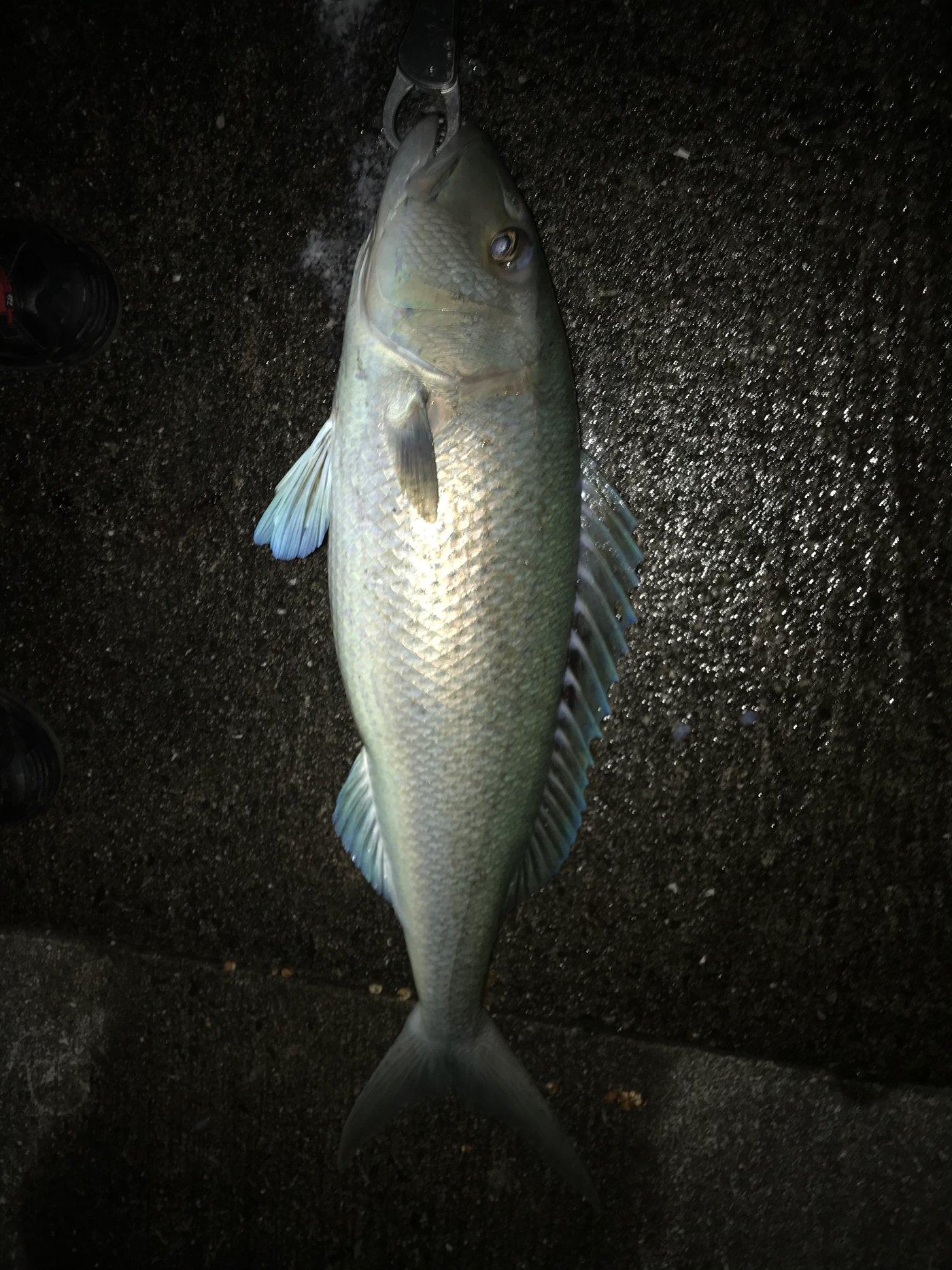 f11236さんの投稿画像,写っている魚はアオチビキ