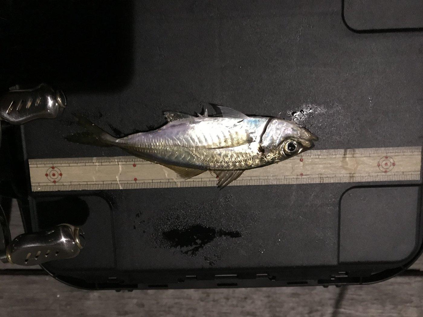 ただし。さんの投稿画像,写っている魚はアジ