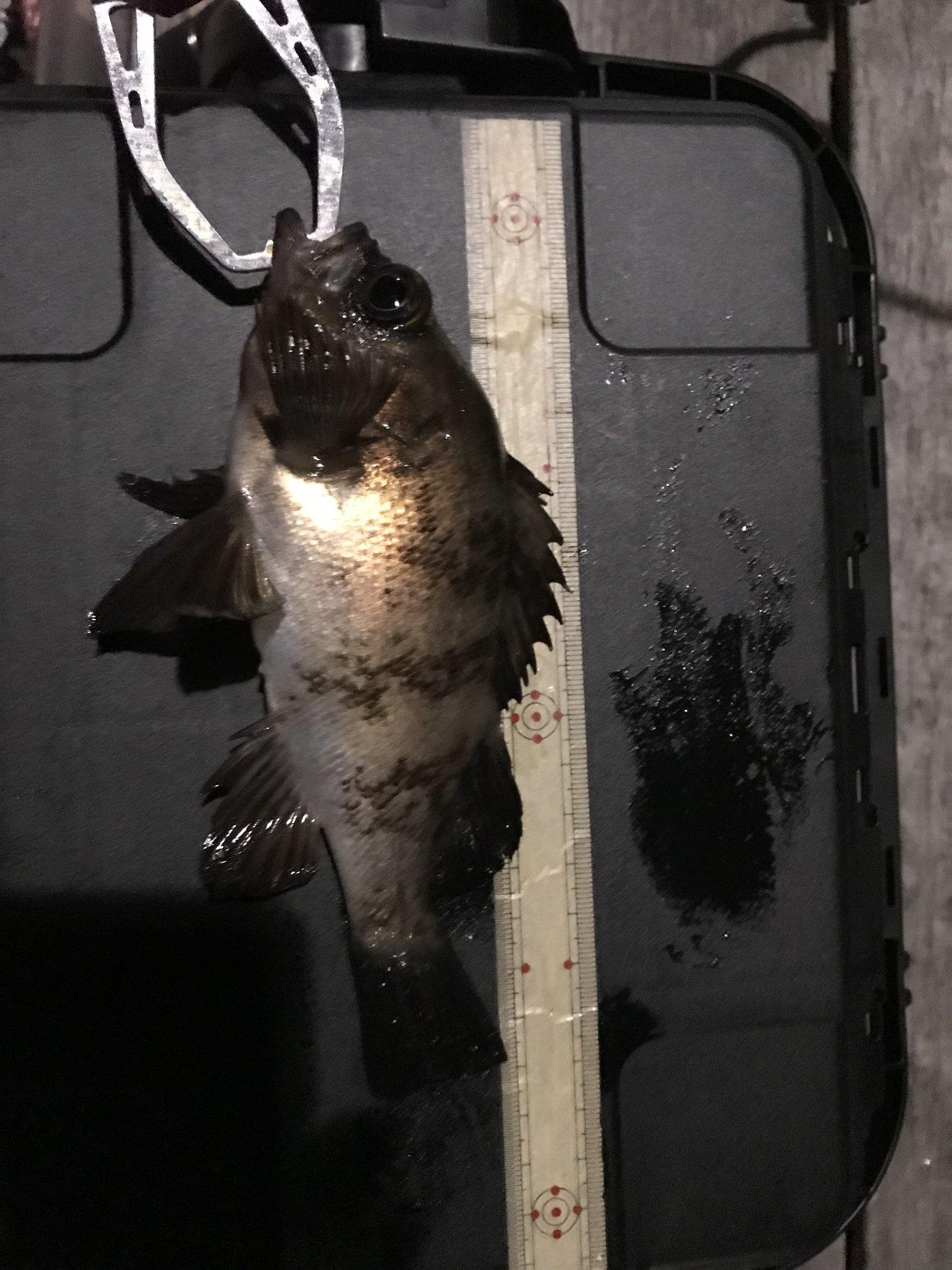 ただし。さんの投稿画像,写っている魚はメバル