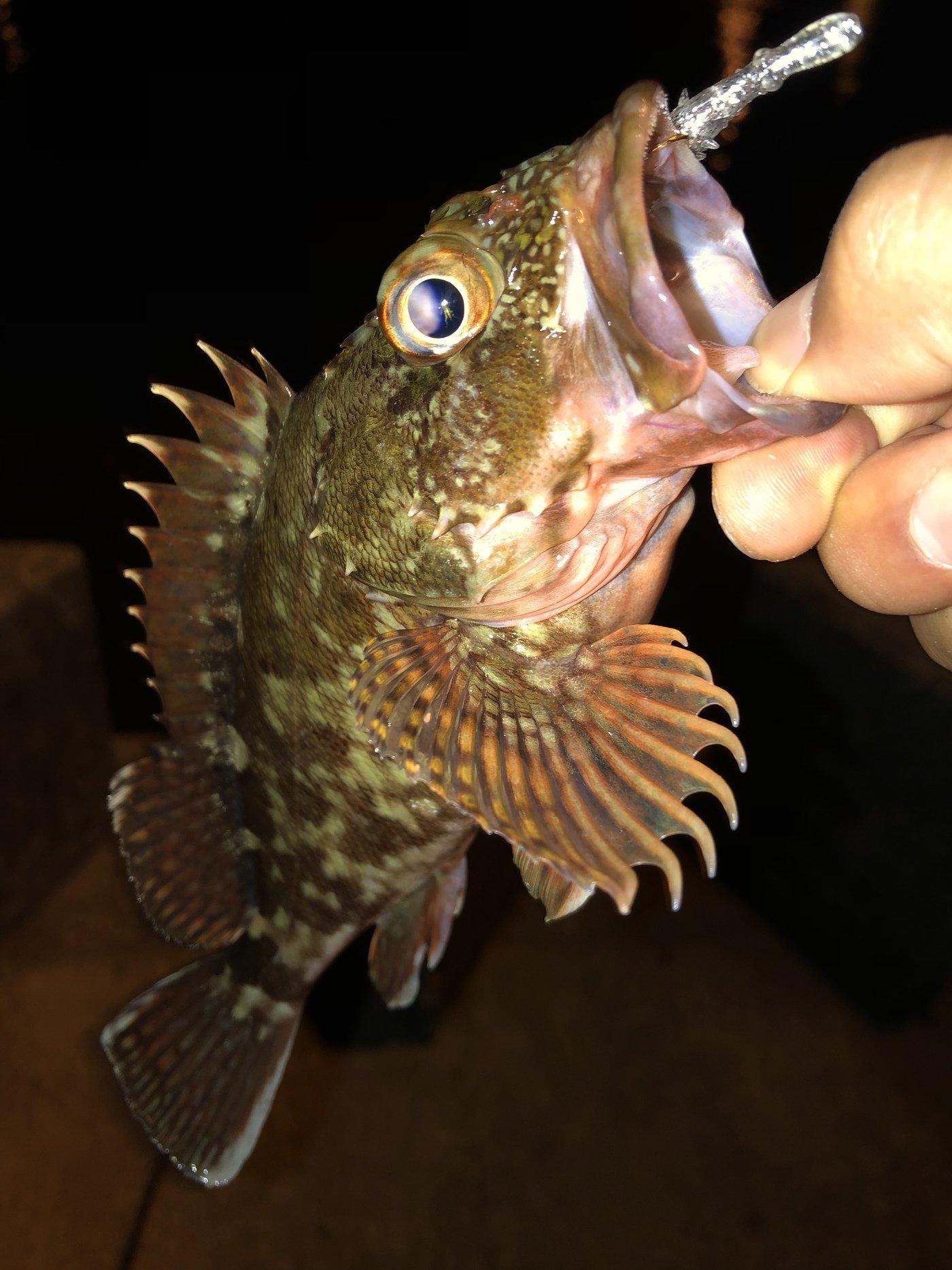 ゆーださんの投稿画像,写っている魚はカサゴ