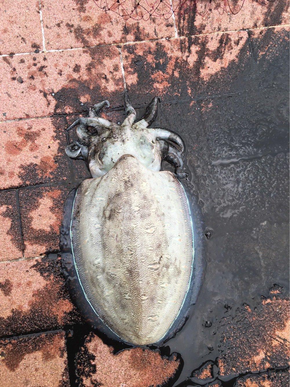 ヒカル 餌木團さんの投稿画像,写っている魚はカミナリイカ