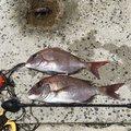 Ta-Bo-さんの香川県小豆郡での釣果写真