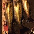 Anglerさんの東京都港区での釣果写真