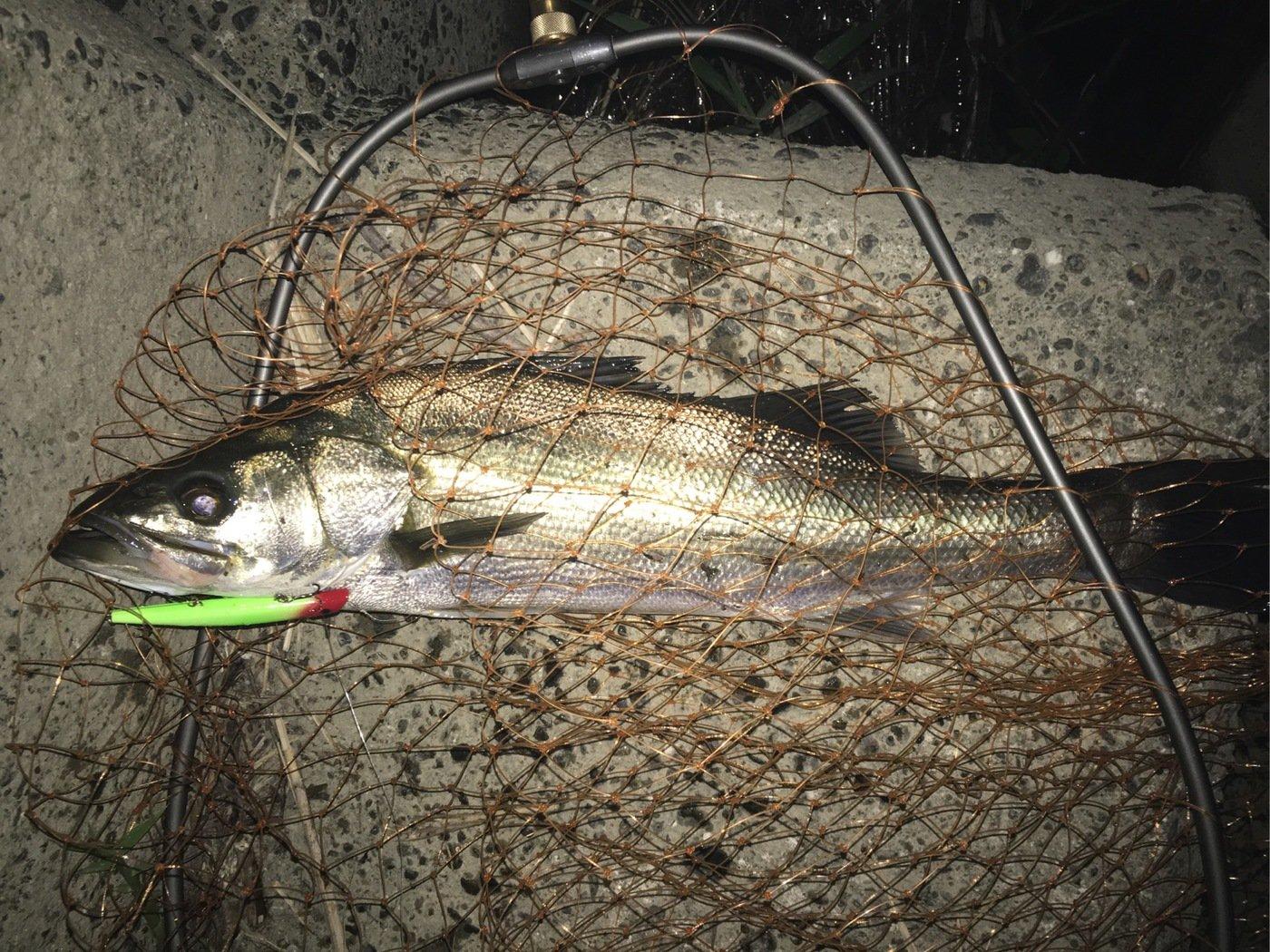 サクサクさんの投稿画像,写っている魚はスズキ