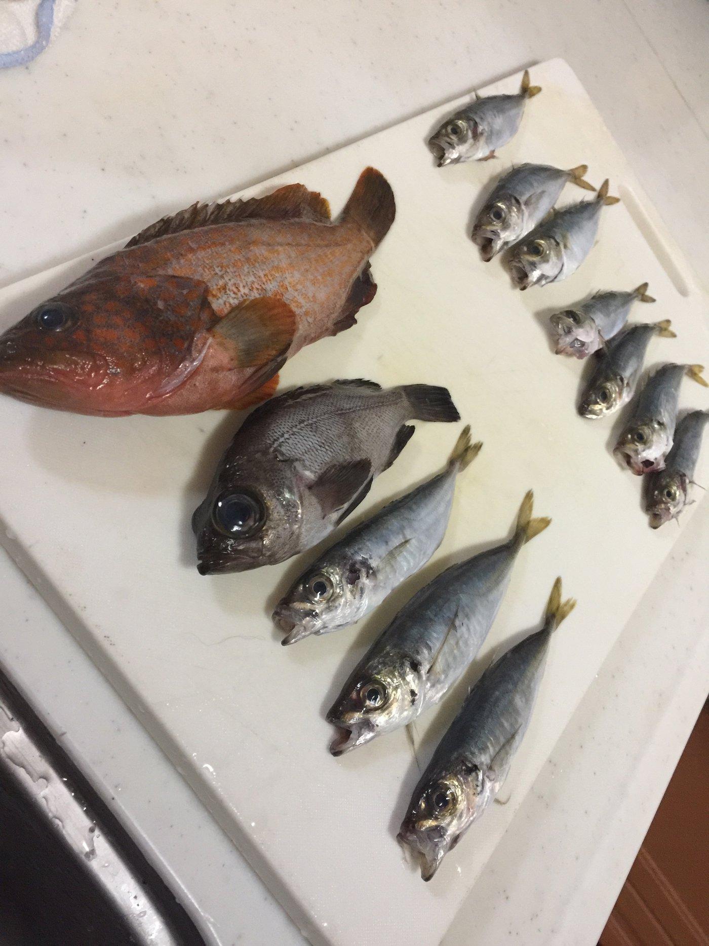 Gajaさんの投稿画像,写っている魚はキジハタ,メバル,アジ