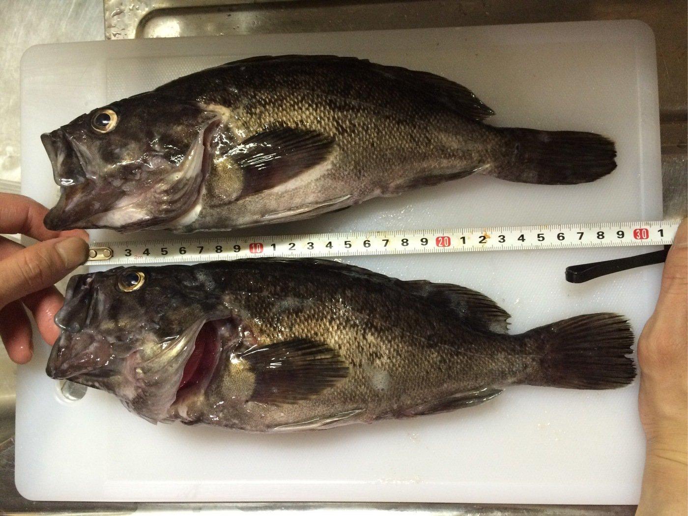 なはなは太郎さんの投稿画像,写っている魚はクロソイ