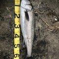 SAKUさんの山形県酒田市でのスズキの釣果写真