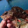 あっきーさんの兵庫県南あわじ市でのカサゴの釣果写真