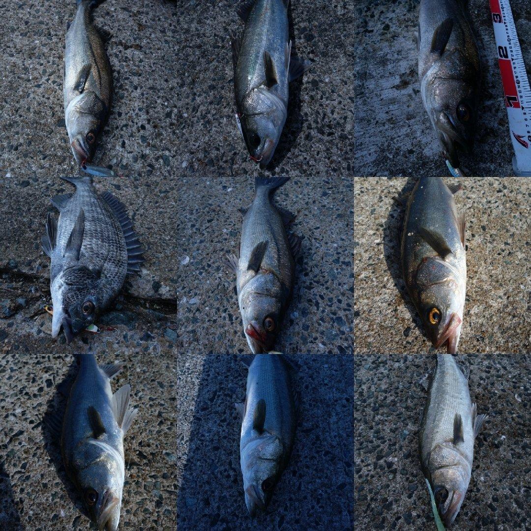 ナンチャンさんの投稿画像,写っている魚はスズキ,クロダイ