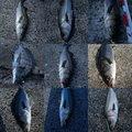 ナンチャンさんの福岡県福岡市でのクロダイの釣果写真