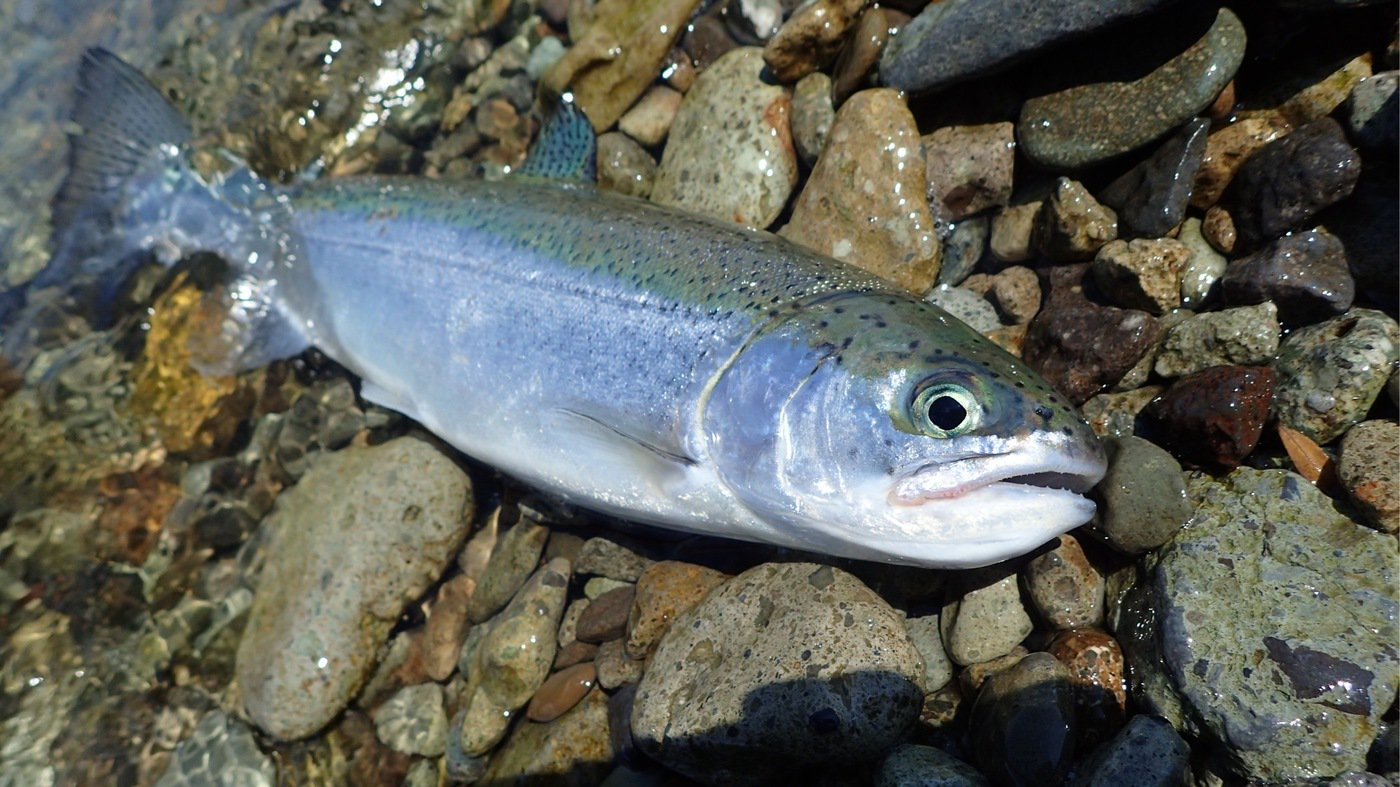 Kuniさんの投稿画像,写っている魚はニジマス