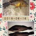 まゆさんの兵庫県明石市でのアイナメの釣果写真