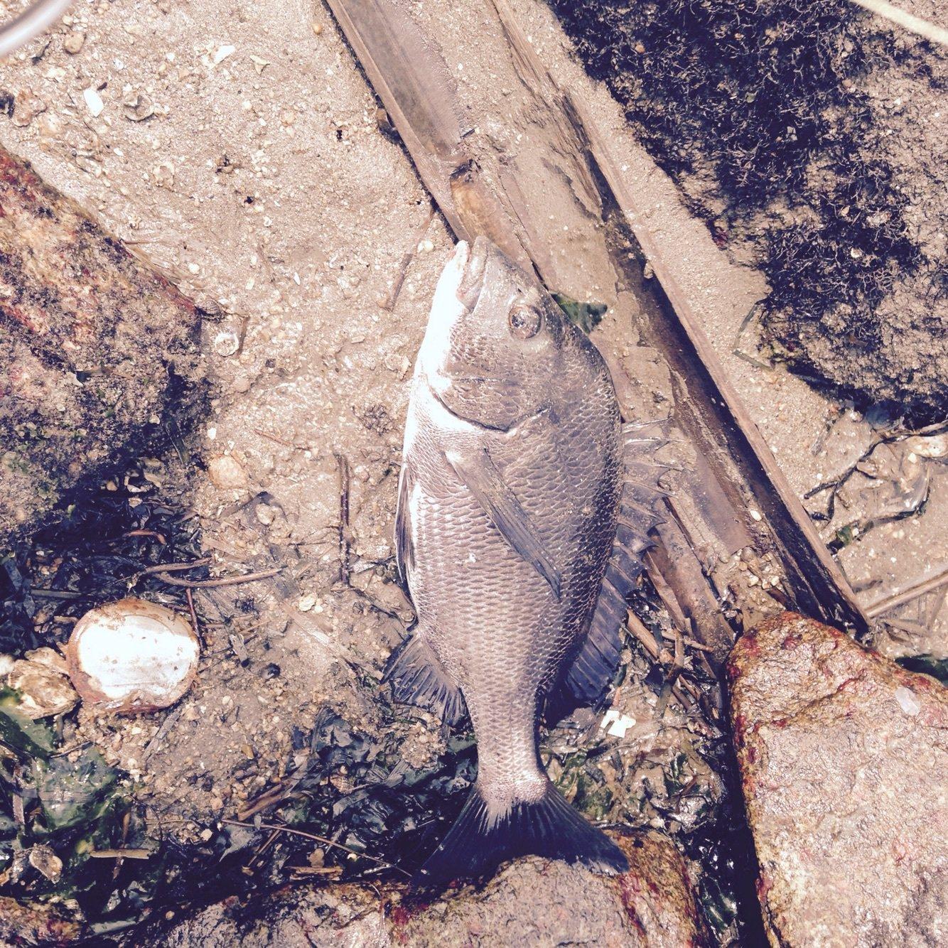 ヒキジリさんの投稿画像,写っている魚はクロダイ
