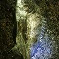 liesunderさんの愛知県東海市でのクロダイの釣果写真