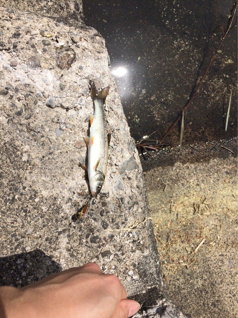 海苔天さんの投稿画像,写っている魚はウグイ