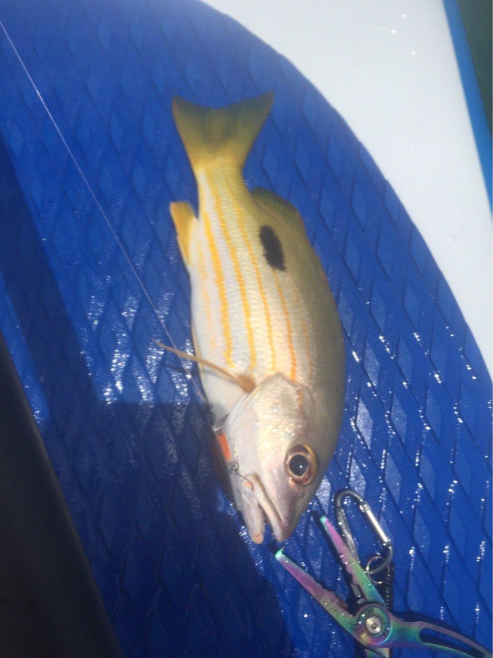 tamatamanさんの投稿画像,写っている魚はイッテンフエダイ