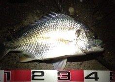 (´・Д・)」さんの投稿画像,写っている魚はキチヌ