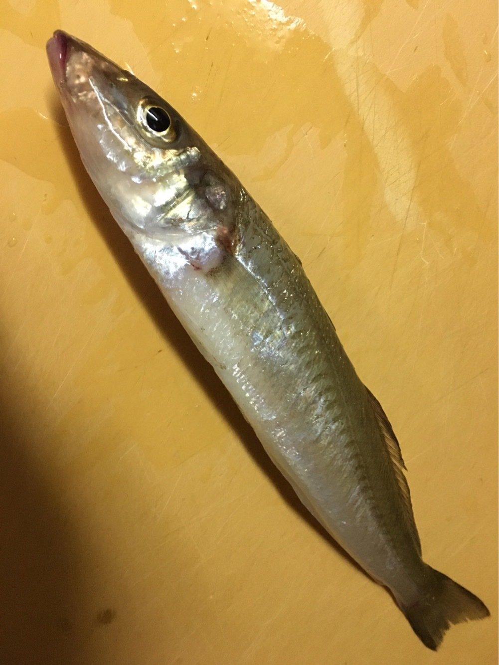 せいたろさんの投稿画像,写っている魚はシロギス