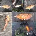 フィッシャーさんの神奈川県でのキュウセンの釣果写真
