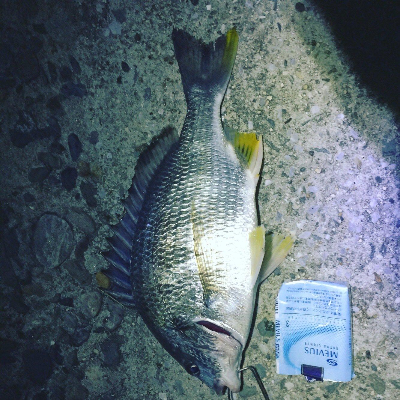 andy さんの投稿画像,写っている魚はギマ