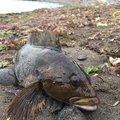 きーとんさんの北海道石狩郡での釣果写真