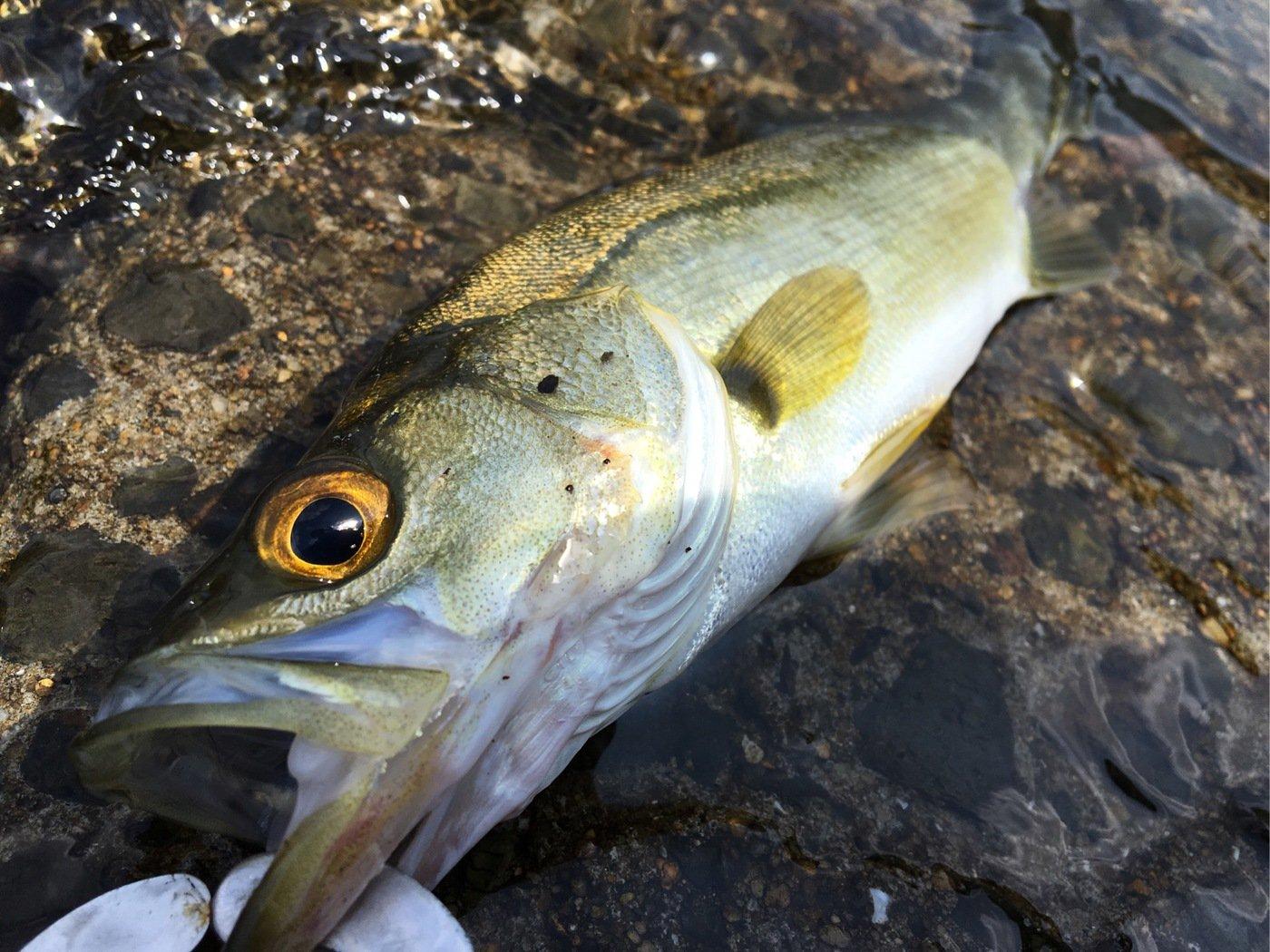 tho.incさんの投稿画像,写っている魚はスズキ