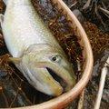 しょうさんの新潟県岩船郡での釣果写真