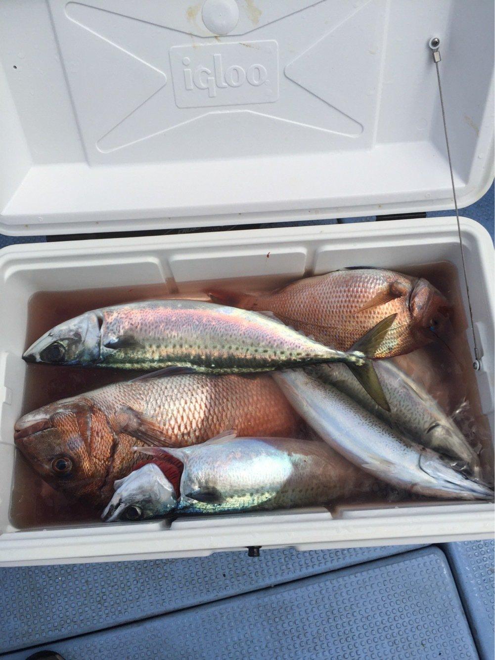 丸田海猫さんの投稿画像,写っている魚はイサキ