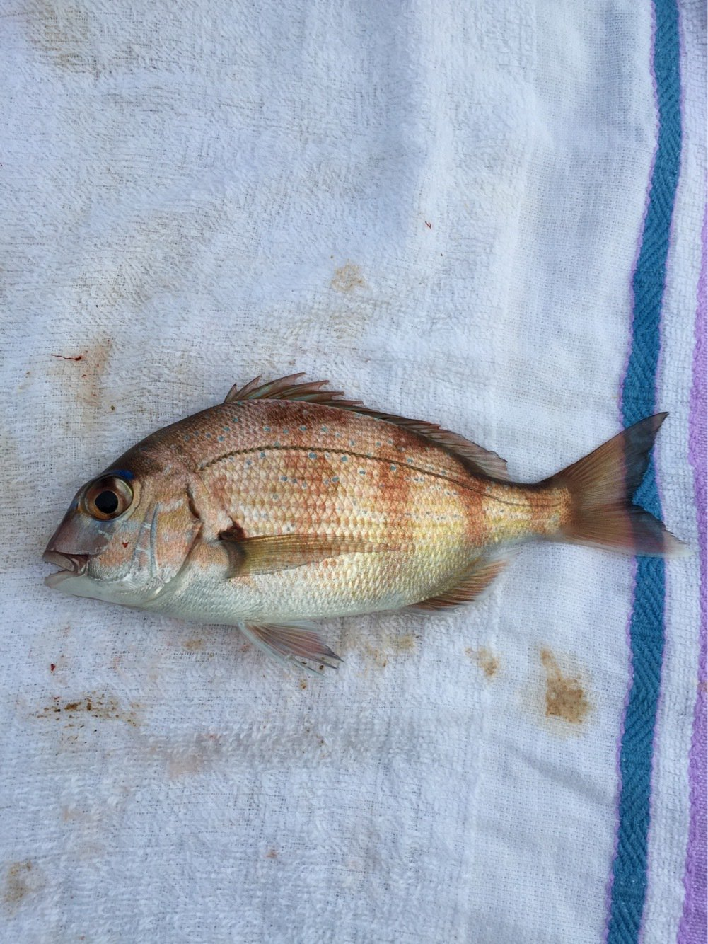 高橋幹博さんの投稿画像,写っている魚はマダイ