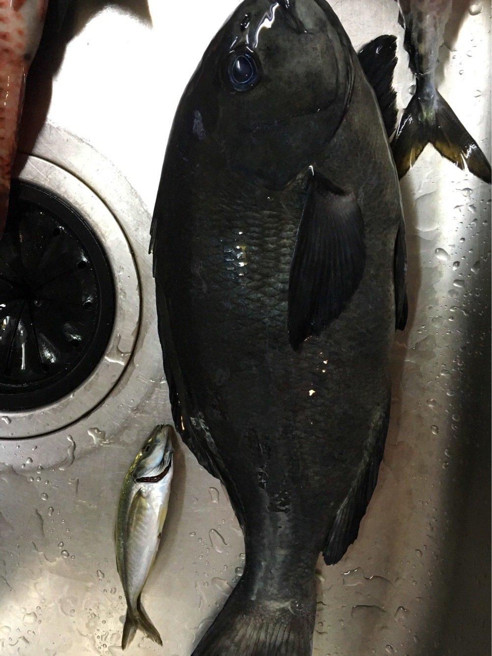 ishikawawaさんの投稿画像,写っている魚はメジナ