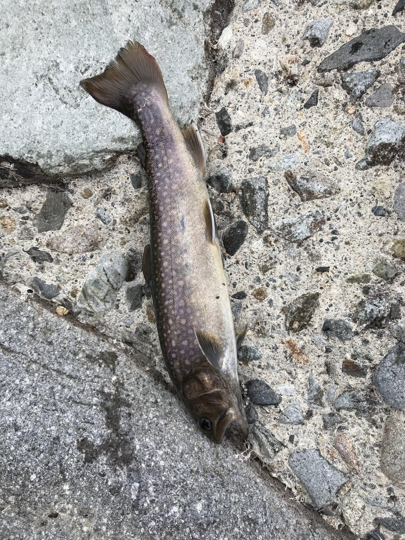 伝説のフィッシャーマンさんの投稿画像,写っている魚はイワナ