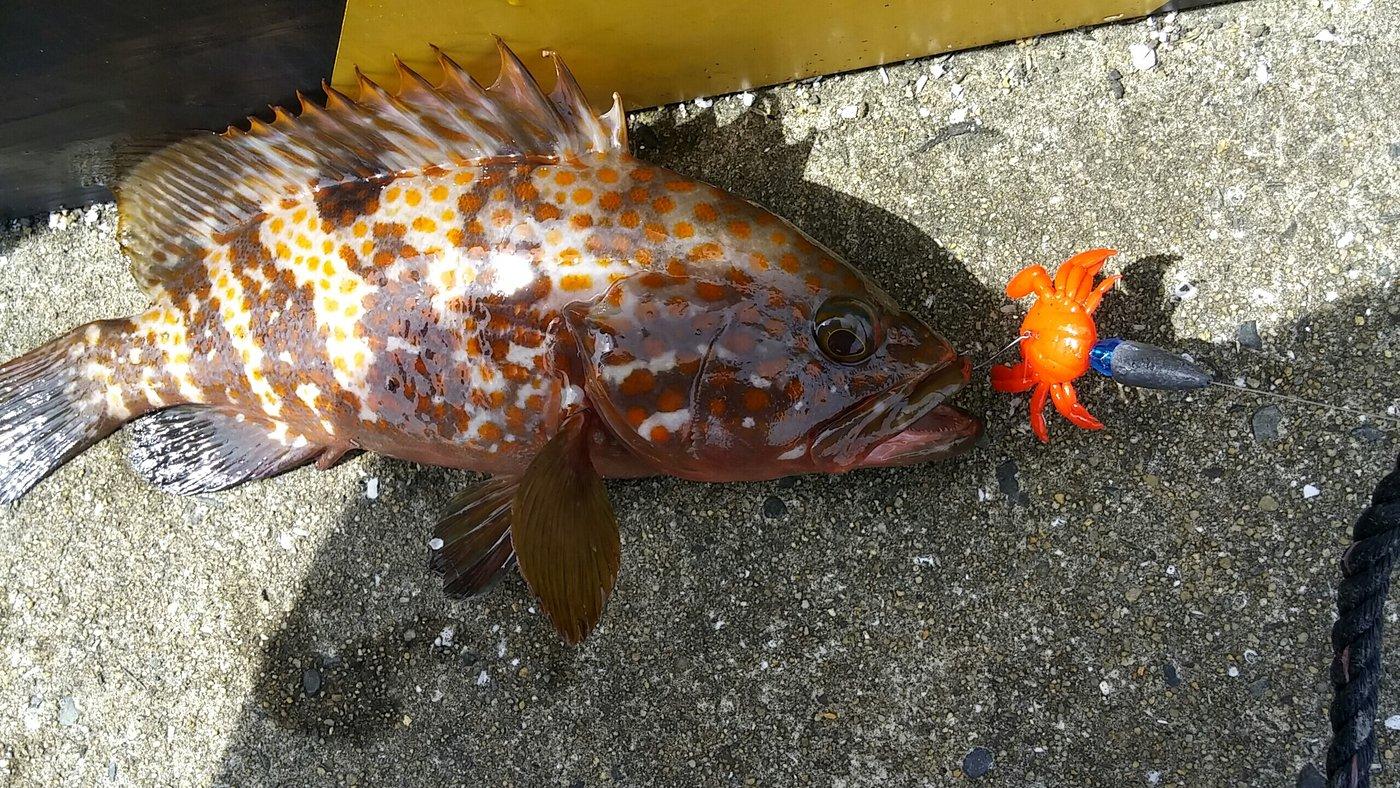 大崎の主さんの投稿画像,写っている魚はキジハタ