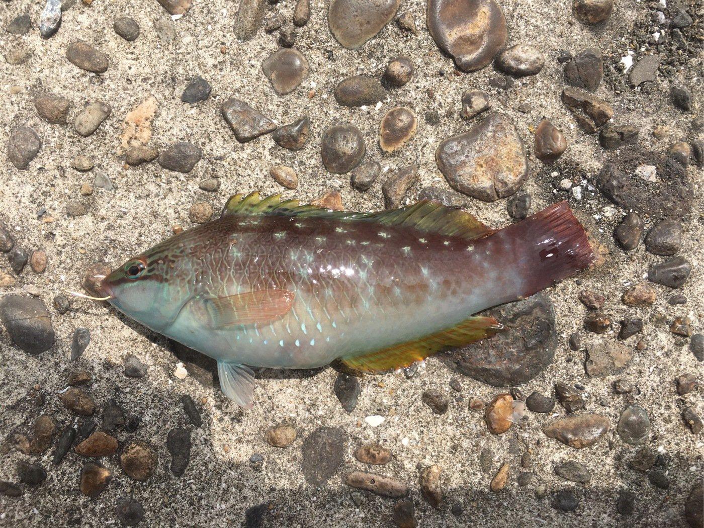 釣りキチこじ平さんの投稿画像,写っている魚はキュウセン
