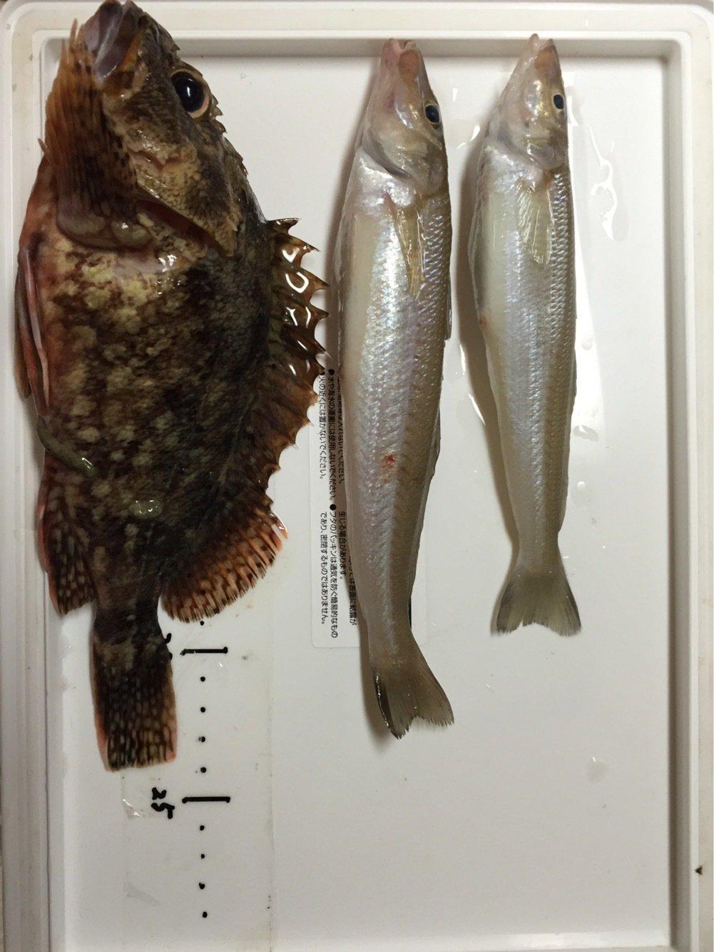 フルフルさんの投稿画像,写っている魚はシロギス