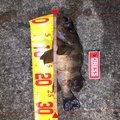 あきもっちゃんさんの青森県北津軽郡でのメバルの釣果写真