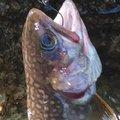 しょうさんの新潟県東蒲原郡での釣果写真