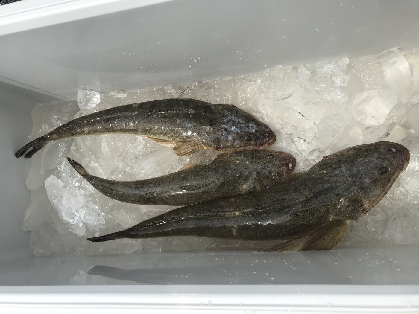 MAXさんの投稿画像,写っている魚はコチ