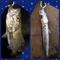 ポニーさんの千葉県白井市での釣果写真