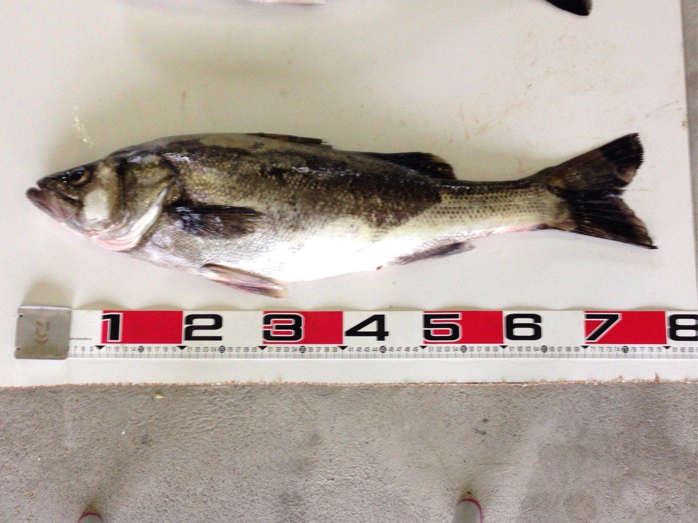 ぱっつあんさんの投稿画像,写っている魚はスズキ