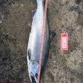 ケンタローさんの北海道島牧郡での釣果写真
