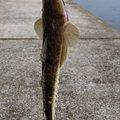 ゲ☆チェナさんの長崎県長崎市でのコチの釣果写真