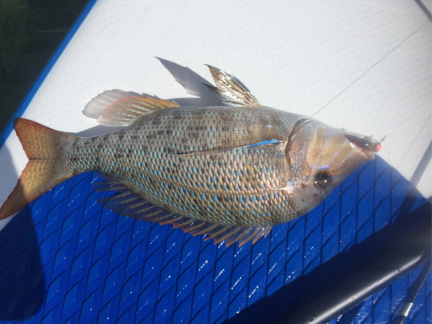 tamatamanさんの投稿画像,写っている魚はハマフエフキダイ