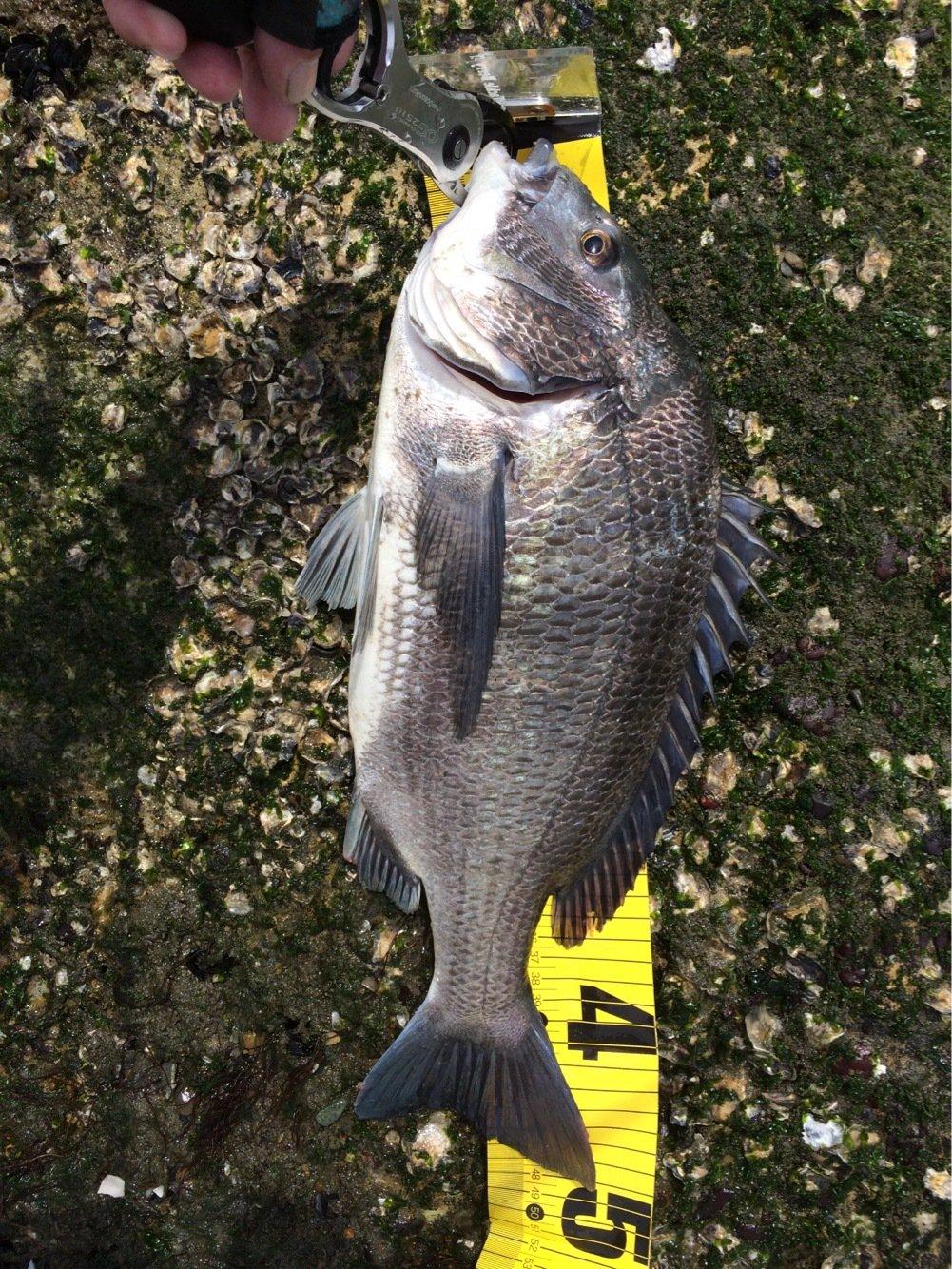 釣坊主さんの投稿画像,写っている魚はクロダイ