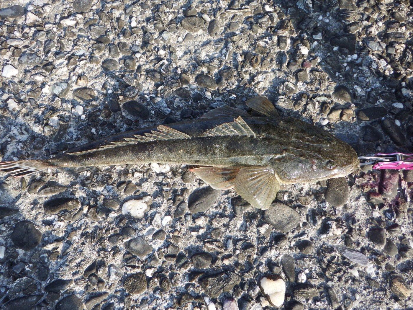 denさんの投稿画像,写っている魚はコチ