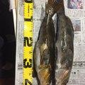 らぶこさんの北海道茅部郡での釣果写真