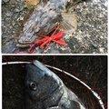 ひょーどるさんの福岡県糸島市でのクロダイの釣果写真