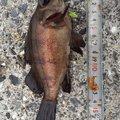 mantaさんの山口県周南市でのカサゴの釣果写真