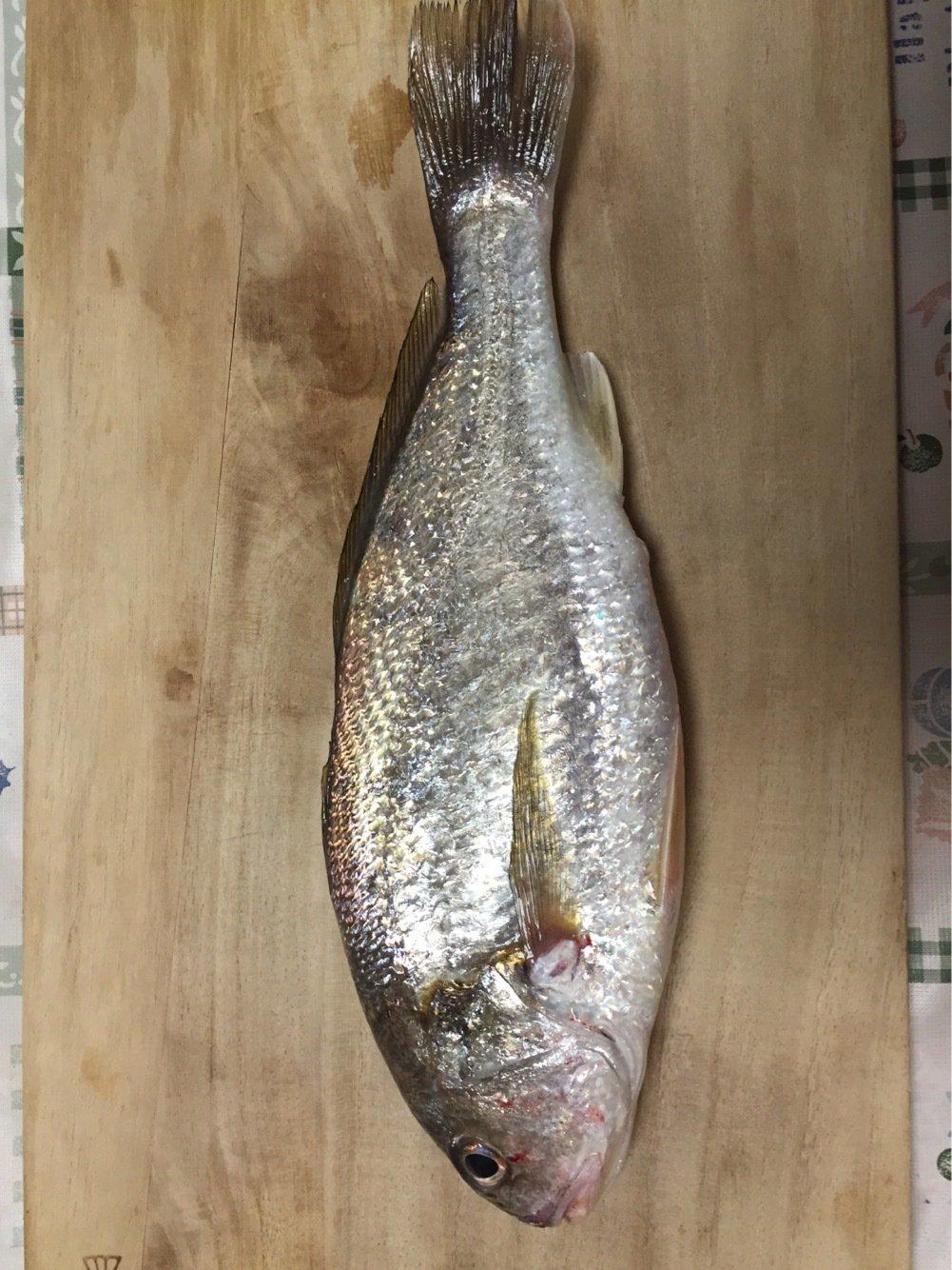 denさんの投稿画像,写っている魚はシログチ